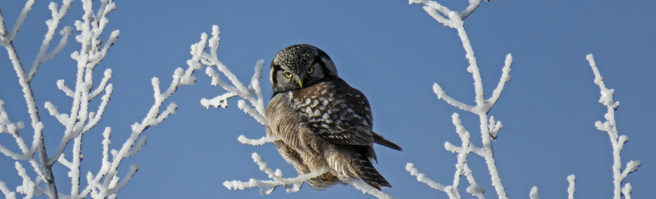 Wise owl perched on a snowy branch